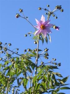 H18年11月8日皇帝ダリアやっと咲きました