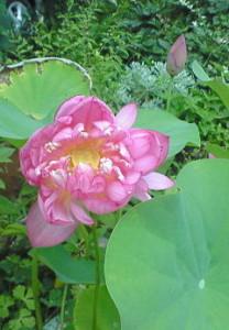 蓮の花 咲いた