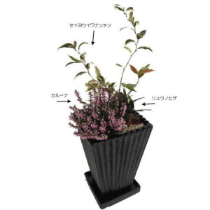 081014秋の寄せ植え「岩南天の枝ぶりを生かしてカルーナの寄せ植え」