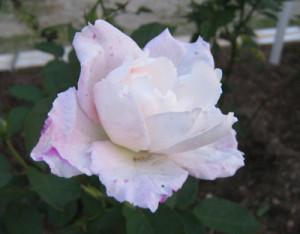 「プリンセス テンコー」のバラ