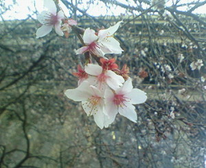 各務原市役所の四季桜