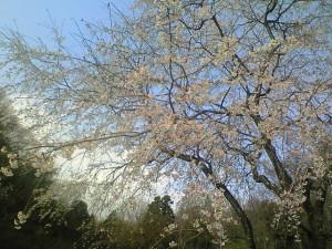 花フェスタ記念公園シダレ桜