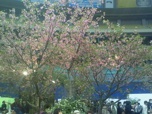 フラワードーム内で河津桜が満開です