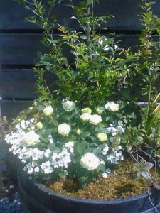 080413グリーン系のバラ「コルダナ・ペパーミント」