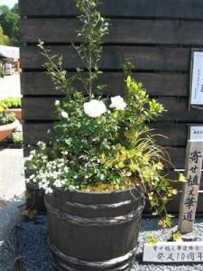 090513巨大なバラの寄せ植え