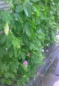 軒先で育てている白ゴーヤ 雨降りなのに土は乾いて ヘロヘロです
