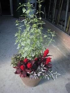 090905ケイトウ火の鳥を使った寄せ植え