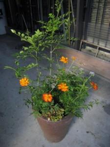 090905黄花コスモスの寄せ植え