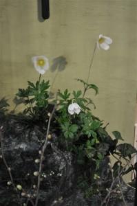 本物の岩にみえる?清楚なアネモネ エレガンスローズの寄せ植え 花創人はなそうにん