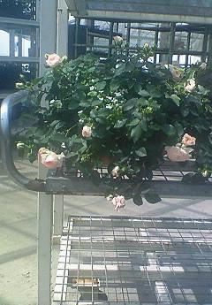 薔薇ラブリーモアのハンギングバスケット