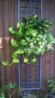 観葉植物のハンギングバスケット