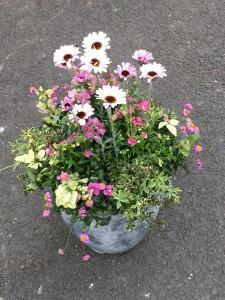 ローダンセマム、ネメシア春の寄せ植えギャザリング