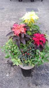 2014-07-26葉ケイトウ2色で夏の寄せ植え