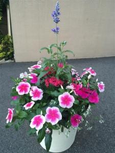 美容室ふわり様ブルーサルビア,ニチニチソウ寄せ植え
