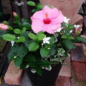 20140713ピンクのハイビスカスの寄せ植え