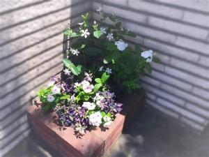 涼しげな玄関脇の植え込みに艶やかなトウガラシパープルフラッシュ