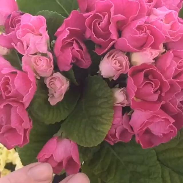 #ジュリアン の葉っぱで花が隠れてしまう時はひねって外側に出すか、切り取るとよりゴージャスになります毎週水曜日夜8時定期配信中の園芸番組、今週の #花ズバっ でご紹介しました。このプレミアムな バラ咲きジュリアンは来週のリース教室に使っていただきます。お申し込み受付中!