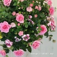 4月の花創人ギャザリングレッスンバラのハンギングバスケット