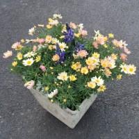 カサバルピナスとマーガレットの春の寄せ植え