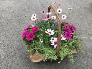 オステオスペルマムとローダンセマムの春の花かご寄せ植え