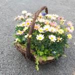 マーガレットスプリングブーケの春の花かご寄せ植え